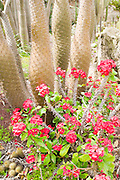 Flowering euphorbia plant in a cactus garden