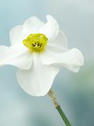 Narcissus 'Sinopel' - daffodil