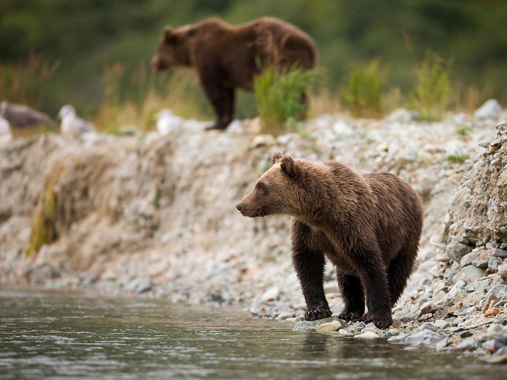 USA, Alaska, Katmai National Park, Kinak Bay, Second-year Brown Bear Cubs (Ursus arctos) standing along salmon spawning stream on autumn afternoon