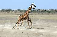 Giraffes move across a dusty plain during the dry season in East Africa
