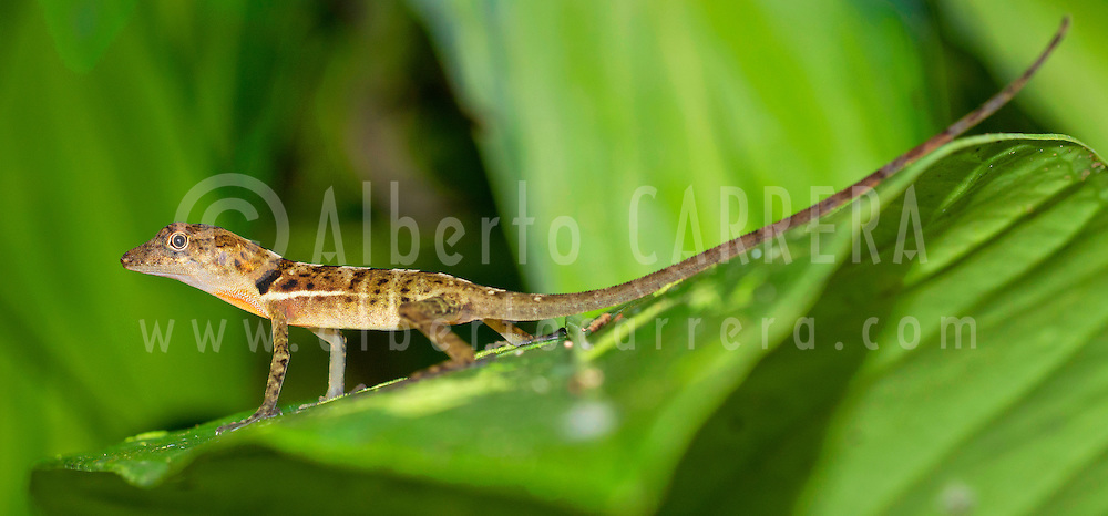 Alberto Carrera, Anolis, Anole Lizard, Tropical Rainforest, Marino Ballena National Park, Uvita de Osa, Puntarenas, Costa Rica, Central America, America