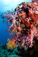 Colorful Soft Corals..Shot in West Papua Province, Indonesia