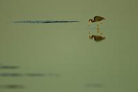 A Little Blue Heron (Egretta caerulea) foraging during low tide in the Orinoco River Delta, Venezuela.
