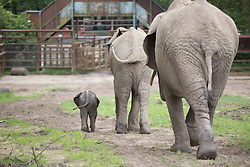"@Licensed to London News Pictures 16/06/2014. Howletts Wild Animal Park, Bekesbourne, Kent, UK. African elephant calf, as of yet unammed, was born just a week ago at Howletts Wild Animal Park in Kent and is seen here bonding with the other family members in the paddocks. It is claimed that ""2 out of 3 elephants born in the UK are born at Howletts"" says Damian Aspinal, Chairman of the Aspinal Foundation.Photo credit: Manu Palomeque/LNP"