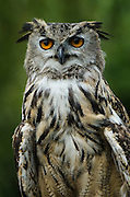 Eurasian Eagle-owl (Bubo bubo)<br /> Secret World Wildlife Rescue Center<br /> Somerset<br /> England<br /> UK<br /> captive