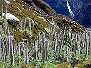 Giant stalks of lupine flowers (Lupinus weberbauerii) in the Quebrada Llanganuco (Llanganuco Valley) region of Huascarán National Park.  The park was established in 1975, and listed by UNESCO as a World Heritage Site in 1985.