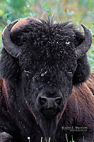 Wood bison, Northwest Territories, Canada