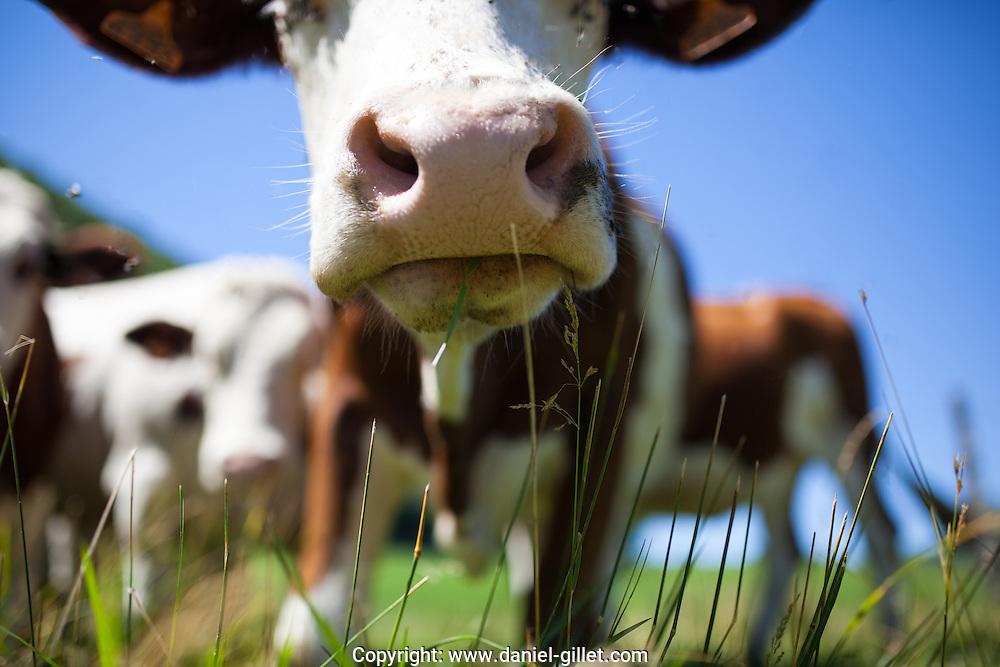 Vaches dans les champs, Savoie