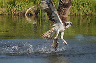 Osprey flies up from pond with a large fish, © 2015 David A. Ponton