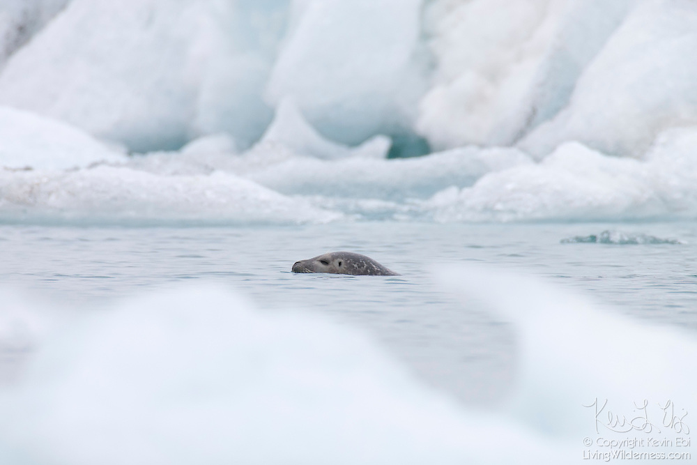A harbor or harbour seal (Phoca vitulina), also known as a common seal, swims between icebergs in Jökulsárlón, the glacier lagoon in Iceland. The harbor seal is Iceland's second-smallest seal, and one of only two types that pup there.