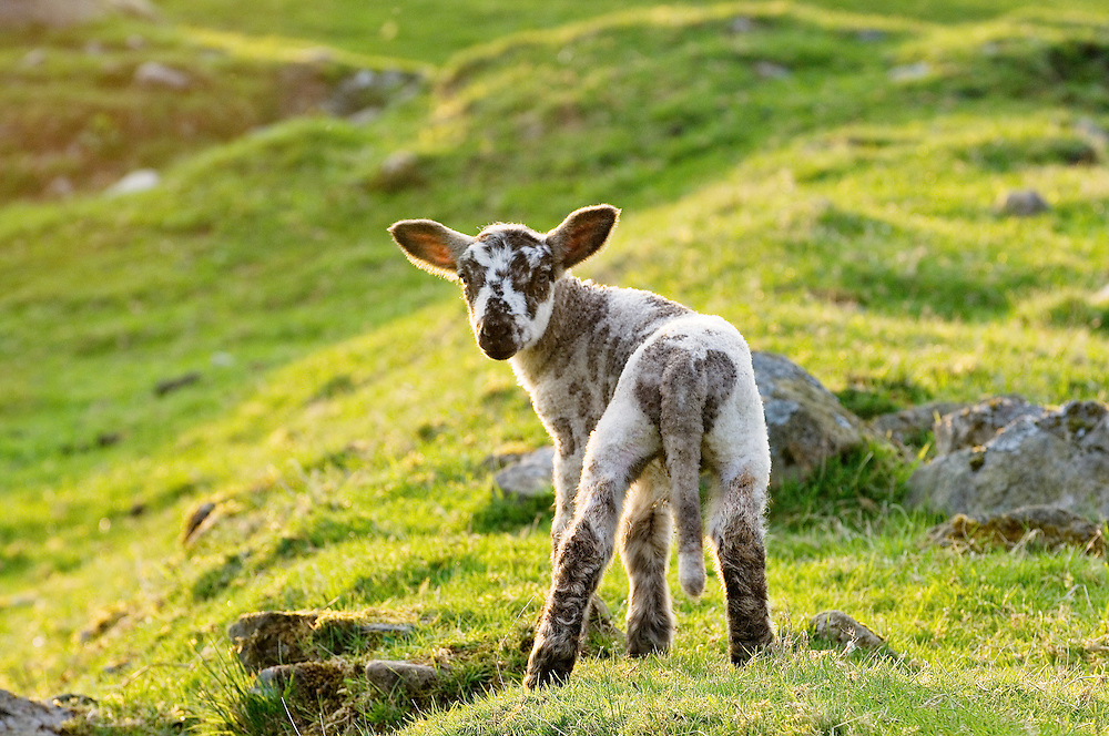 Spring lamb standing in English hill farm grass meadow