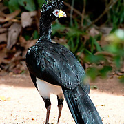 Bare Faced Currasow at the Cristalino Jungle Lodge in the Amazon, Brazil
