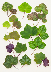 Hepatica leaves from China laid out on a white background.