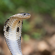 Monocled cobra (Naja kaouthia) producing a hood in Kaeng Krachan national park, Thailand