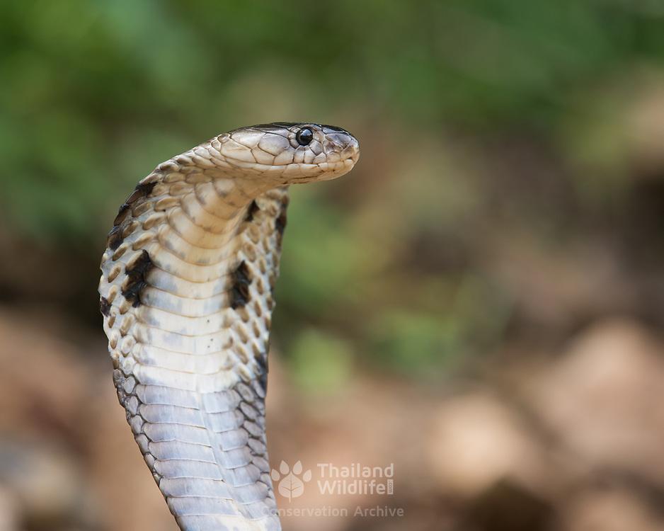 Monocled cobra (Naja kaouthia) producing a hood in Kaeng Krachan national park, Thailand