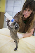 Raccoon <br /> Procyon lotor<br /> Volunteer, Shelly Ross, bottle-feeding four-week-old orphaned baby at wildlife rehabilitation center<br /> WildCare, San Rafael, CA<br /> *Model release available