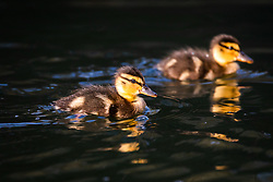 © Licensed to London News Pictures. 10/04/2020. London, UK. New ducklings swim on a canal in Wapping, east London during sunny weather this Good Friday morning. Warm and sunny weather is forecast for the whole of the Easter weekend as the country remains in lockdown due to the ongoing Covid-19 Coronavirus outbreak. Photo credit: Vickie Flores/LNP