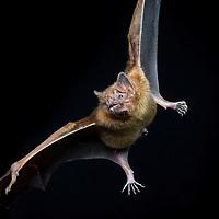 Common vampire bat, Desmodus rotundus, in Cocobolo Nature Reserve, Panama