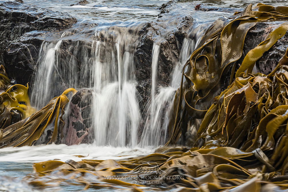As the tide recedes, water pours down the walls of the petrified forest shoreline, creating a subtle and fleeting waterfall beside the flowing kelp.<br />