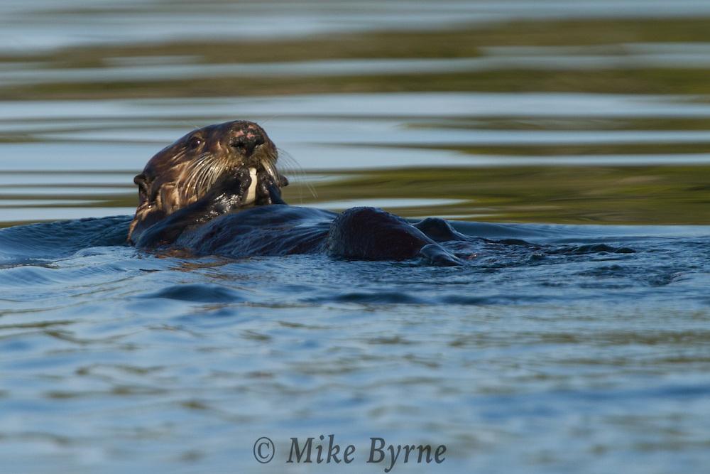 A sea otter (Enhydra lutris) floating on its back eating shellfish.