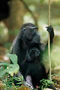 This 40 days old Celebes Crested Macaque fall asleep at the mother's teat. | Der 40 Tage alte Schopfmakake ist an der Zitze der Mutter eingeschlafen.