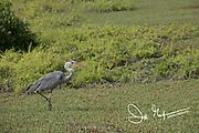 A Great Blue Heron walks along the coast of Santa Cruz island, Galapagos, Ecuador.