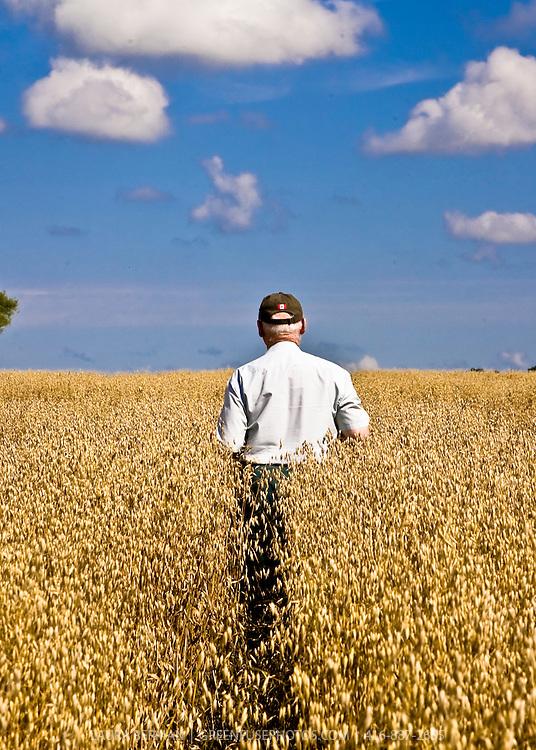 Farmer in a field of golden oats (Avena sativa) under a blue sky..