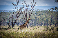 Giraffe at Lake Nakuru, Kenya