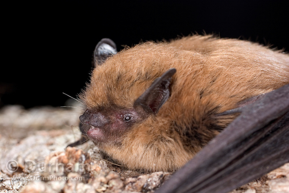 A California myotis (Myotis californicus) on the bark of a tree in the Rogue River National Forest, Oregon
