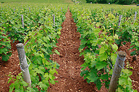 the vineyards, showing plowed soil, Pierre-Yves Colin-Morey, winemaker in Chassagne Montrachet, in the Cote de Beaune part of Burgundy...Photo by Owen Franken for the NY Times..May 28, 2008.
