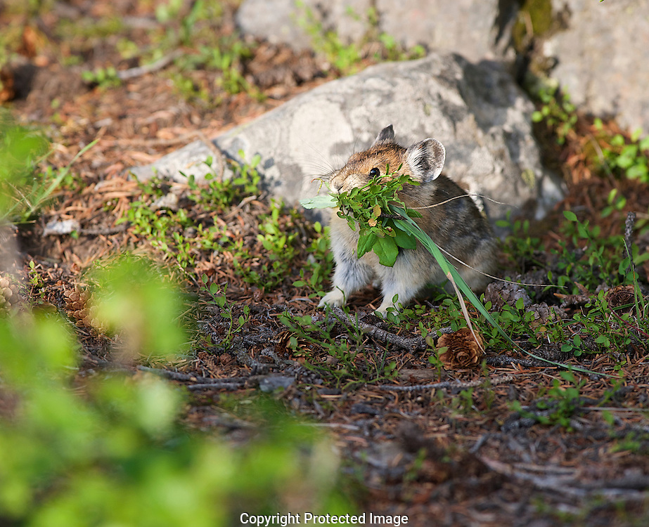 American pika. (Ochotona princeps), Alberta, canada, Isobel Springett