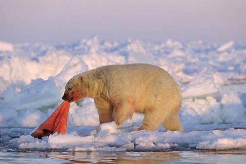 Polar Bear, (Ursus maritimus) Feeding on baby walrus carcass. Nunavut Territory. Canada.