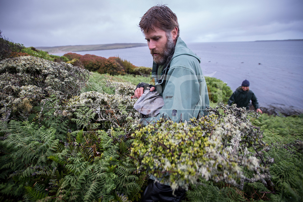 Chris Muller Massey University wildlife biologist and wildlife vet Danielle Sijbranda catch Yellow Eyed Penguins (Megadyptes antipodes) a dusk that are returning from foraging at sea, to microchip and attach radio transmitters to help locate their elusive nests in the Sothern Rata on Enderby Island in the subantarctic Auckland Islands.<br />