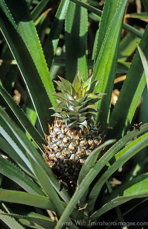 Oceania, South Pacific, French Polynesia, Tahiti. Pineapple plant.