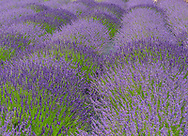 Lavender By the Bay, Lavender, East Marion, NY