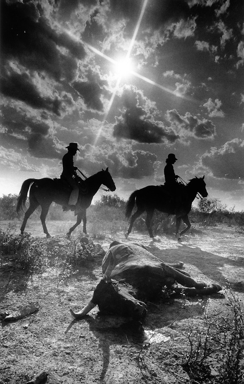 Cowboys ride past a dead steer, the victim of a severe drought on a ranch near Cottula, Texas. 1980