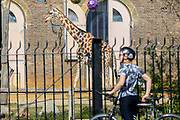 UNITED KINGDOM, London: 09 April 2020 <br /> A member of public looks toward a lonesome giraffe through the closed barriers of London Zoo this afternoon. The zoo was closed with immediate effect on March 20th due to risks of the coronavirus pandemic.