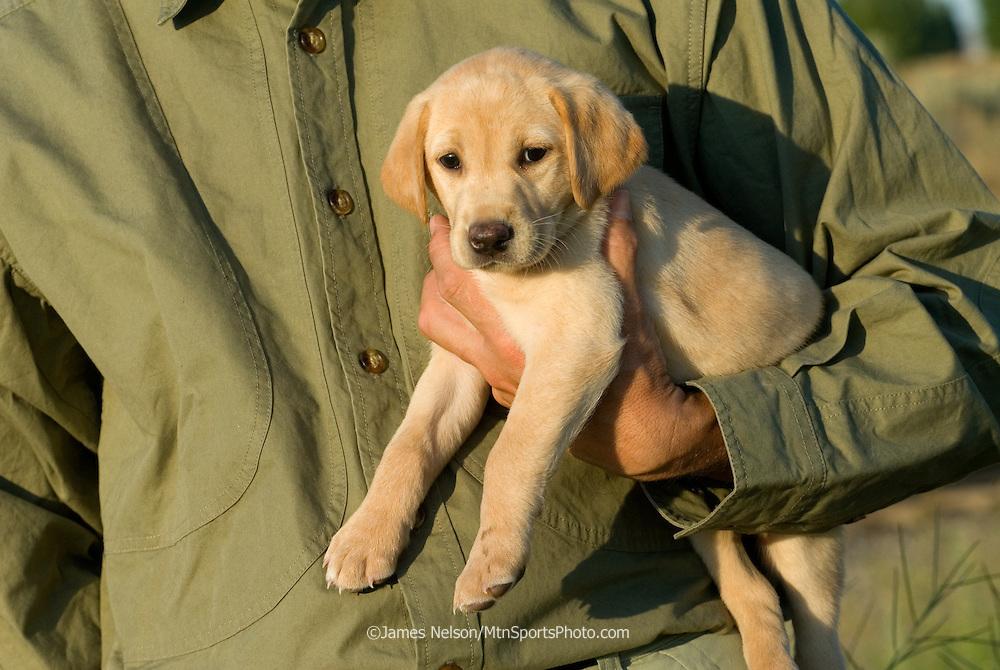 Yellow Labrador retriever being held.