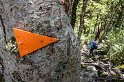 Orange triangular trail marker for Wilkin Track on a rooty section on the descent from Gillespie Pass to Siberia Hut in Mount Aspiring National Park, Southern Alps, Otago region, South Island of New Zealand. UNESCO lists Mount Aspiring as part of Wahipounamu - South West New Zealand World Heritage Area.