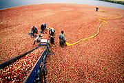 NJ, Pine Barrens, Harvesting cranberries.