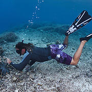 Ron Leidich removing crown of thorns starfish (Acanthaster planci) from coral reef in shallow water in Palau