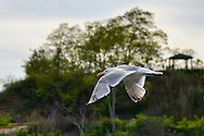 South Merrick, New York, USA. 24th May 2015. A seagull flies over Norman Levy Park & Preserve, during a sunny Memorial Day weekend at the marshland public park on the south shore of Long Island.