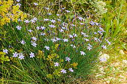 Aphyllanthe de Montpellier, Aphyllanthes monspeliensis