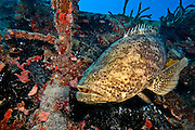 Goliath grouper patrolling the wreck of the Spiegel Grove, Key Largo, Florida (2010).