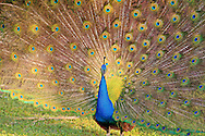 A peacock (Pavo cristatus) displays his tail feathers at Crandon Park near Miami, Florida. WATERMARKS WILL NOT APPEAR ON PRINTS OR LICENSED IMAGES.