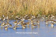 00924-005.14 Pectoral Sandpipers (Calidris melanotos) in wetland (blurred), Prairie Ridge State Natural Area Marion Co.  IL