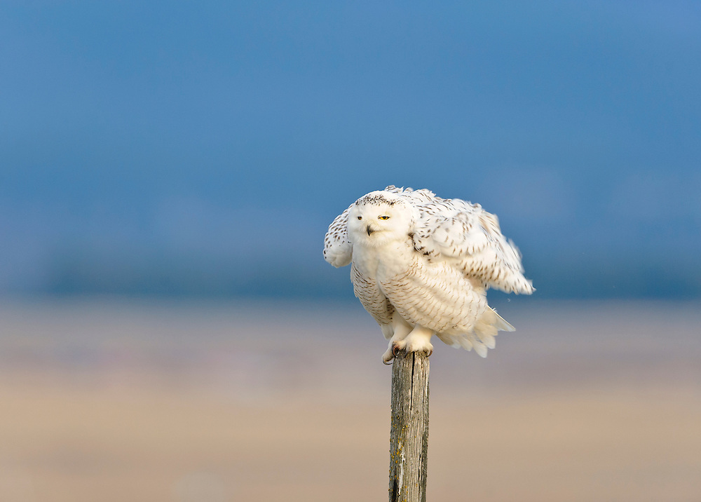 A snowy owl fluffs up his feathers while perched on a wooden fencepost, Polson, Montana