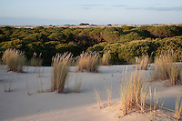 Sand Dunes encroaching on Pine Trees (Pinus sp.) & Marram Grass (Ammophila arenaria)<br /> These are mobile sand dunes within the National Park. Initially formed on the beach the southwesterly winds pile up small mounds of sand around an obstacle or plant which as it accumulates becomes unstable and is progressively blown inland forming larger and larger dunes<br /> Doñana National & Natural Park. Huelva Province, Andalusia. SPAIN<br /> 1969 - Set up as a National Park<br /> 1981 - Biosphere Reserve<br /> 1982 - Wetland of International Importance, Ramsar<br /> 1985 - Special Protection Area for Birds<br /> 1994 - World Heritage Site, UNESCO.<br /> The marshlands in particular are a very important area for the migration, breeding and wintering of European and African birds. It is also an area of old cultures, traditions and human uses - most of which are still in existance.