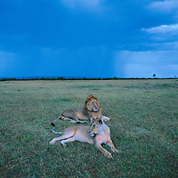 Kenya, Masai Mara Game Reserve, Lion and Lioness (Panthera leo) rest on savanna with approaching storm at dusk
