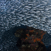 Thousands of hardyhead silversides (Atherinomorus lacunosus) circling around the coral-encrusted remains of a jetty post at Samarai Island in Milne Bay, Papua New Guinea.